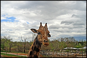 giraffe w/a halo of clouds pokes head up into frame