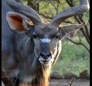 Four Legged Person in Forest w/Horns w/beautiful facial colorings